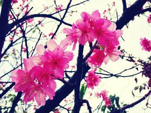 沖縄の桜.jpg