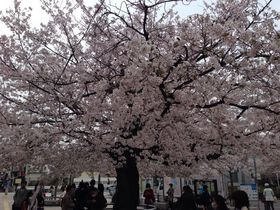 仙川の桜満開.jpg